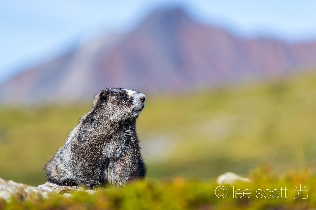 Happy Marmot