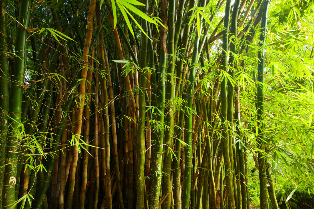 bamboo in hanakapi'ai valley