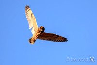 Hawaiian Short Eared Owl